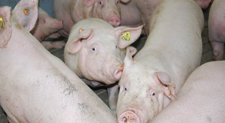 Tanieją świnie w Europie