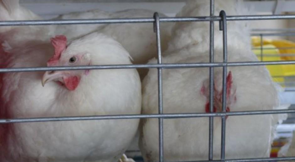 Polska nie będzie mieć problemu z klatkami dla kur niosek