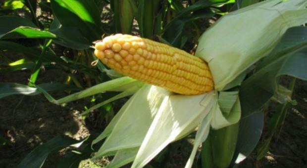 Zamówień na nasiona kukurydzy jest bardzo dużo