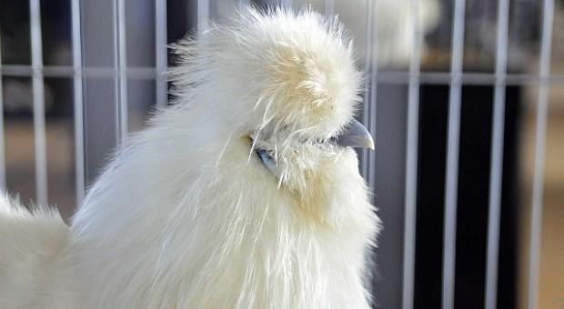 Śląskie: Grypa ptaków w gospodarstwie utrzymującym 55 tys. zwierząt