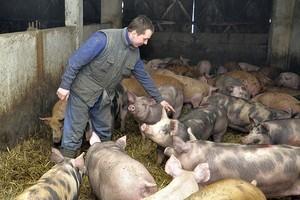 Sam świni nie ubijesz