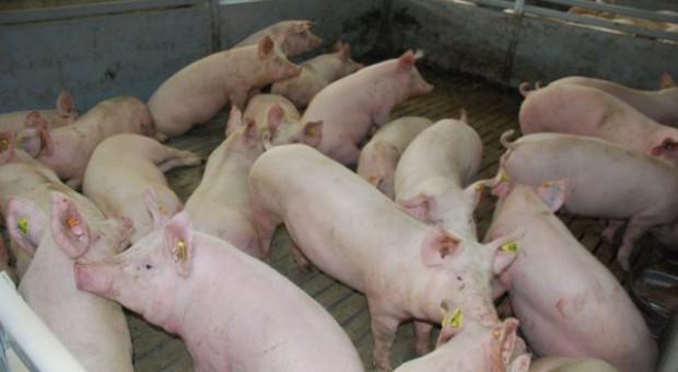 Systemy jakości mają uratować krajową produkcję świń