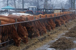 Nowe możliwości w tuczu bydła mięsnego