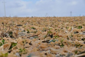 Przesiew rzepaku, a herbicydy stosowane jesienią