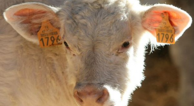 Niewykorzystany potencjał wołowiny