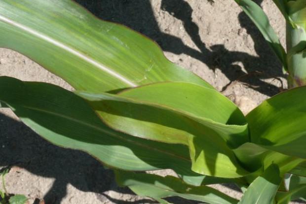 Cynk ważny dla kukurydzy