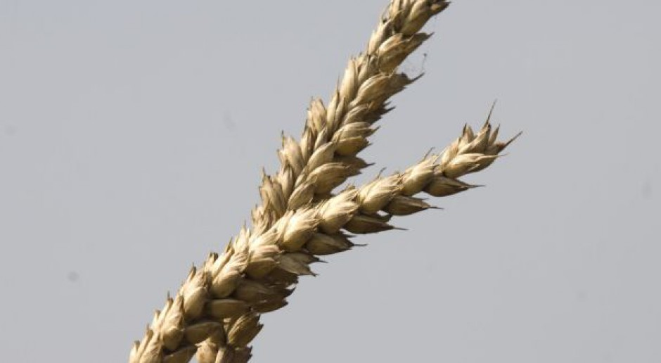 Niższe globalne zbiory pszenicy