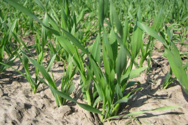 GUS: Powierzchnia uprawy zbóż w tym roku wynosi 7,6 mln ha
