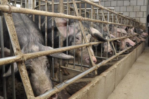 Walczą o dotacje dla producentów świń