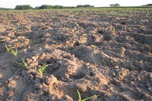 Dziki buszują w kukurydzy