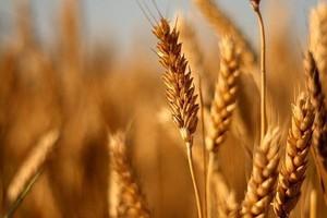 Podniesiono prognozy zbiorów zbóż w UE