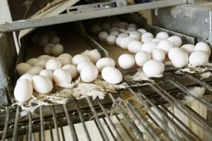 Analitycy: Duży popyt na jaja z chowu wolnowybiegowego i ekologiczne