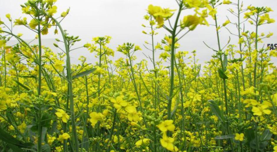 Rzepak jary zasiedlony przez szkodniki