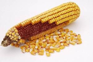 Pozytywna opinia EFSA o odmianach GMO
