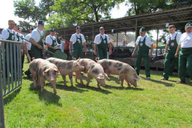 Najlepsze świnie z Lubelszczyzny