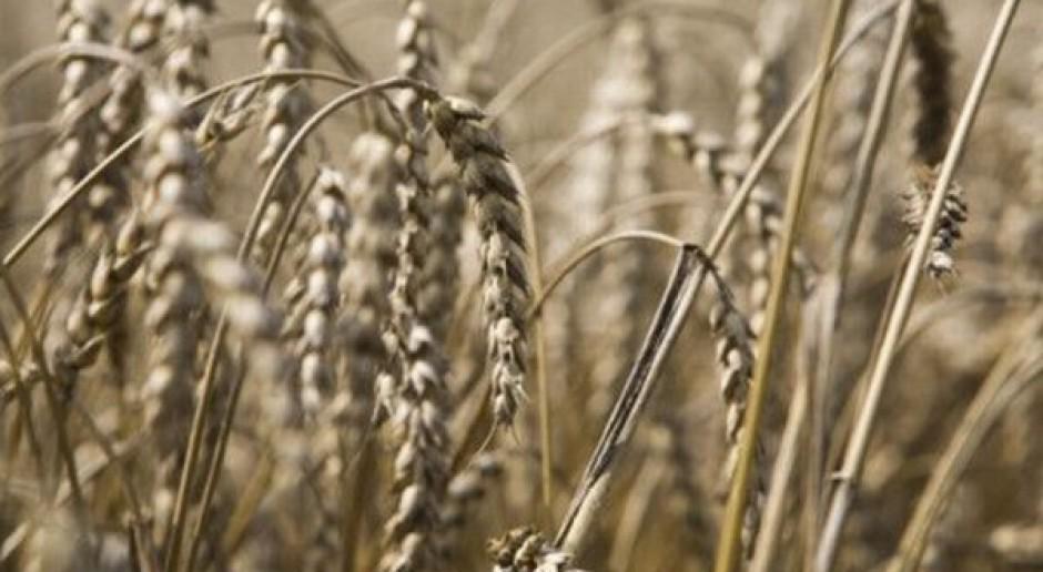 Skup zbóż na poziomie ubiegłego roku