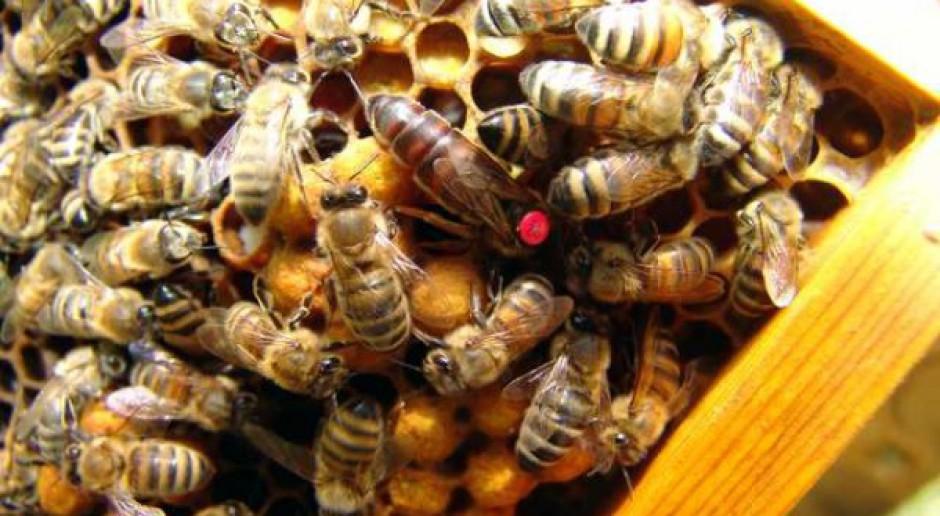 Wymiana matek pszczelich w drugiej połowie lipca i sierpniu