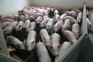 Dwa lata zakazu hodowli świń