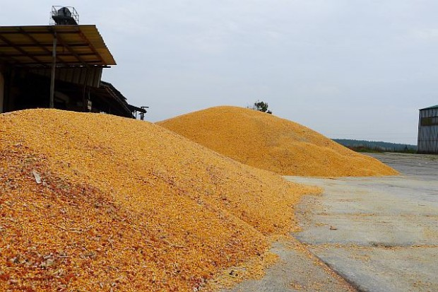 Kukurydza z Brazylii dla obniżenia kosztów paszy