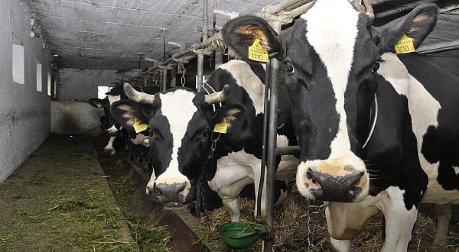 U nas ubywa krów, w UE przybywa mleka