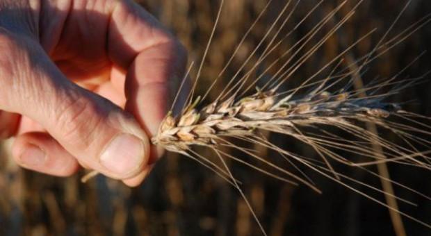 Zboże porasta – konieczna desykacja