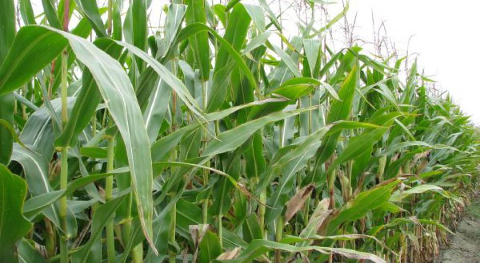 Szkodniki w kukurydzy nie takie groźne