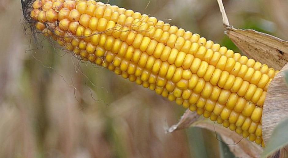 Znaczne straty w uprawach kukurydzy we Włoszech i Rumunii