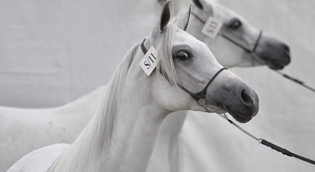 Chalimoniuk: zmieniają się zasady udziału w czempionacie koni arabskich w Janowie