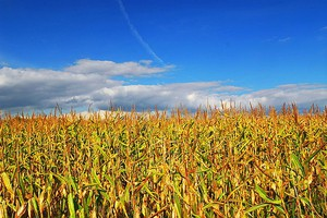 Stany zwiększą import kukurydzy