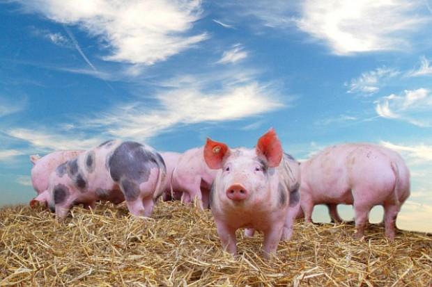 Produkcja wieprzowiny spadła nawet w Niemczech