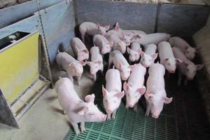 Rekordowe ceny wieprzowiny w UE