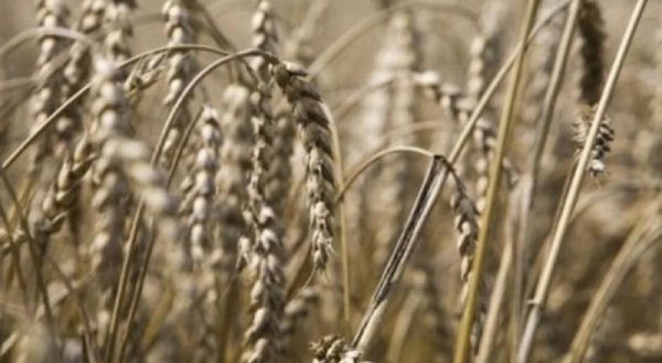 Ta informacja podniesie ceny zbóż