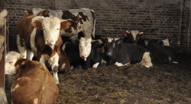 Ceny bydła poszły w górę