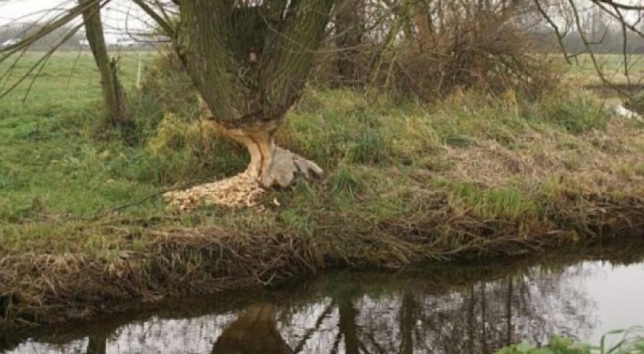 Rury w bobrowych tamach ograniczają podtopienia