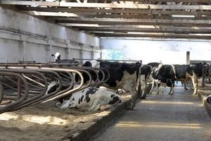 Rekordowy skup mleka, możliwe przekroczenie kwoty mlecznej