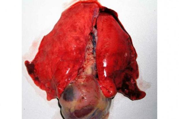 Znaczenie choroby Aujeszkyego dla konkurencyjnej produkcji świń w Polsce