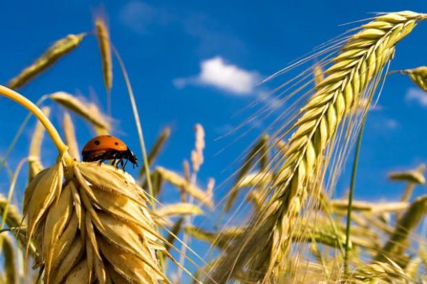 Znaczny spadek cen zbóż