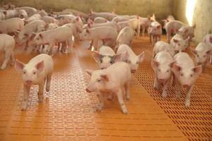 Świnie najdroższe od 11 lat