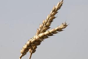 Plonowanie pszenicy wg. COBORU