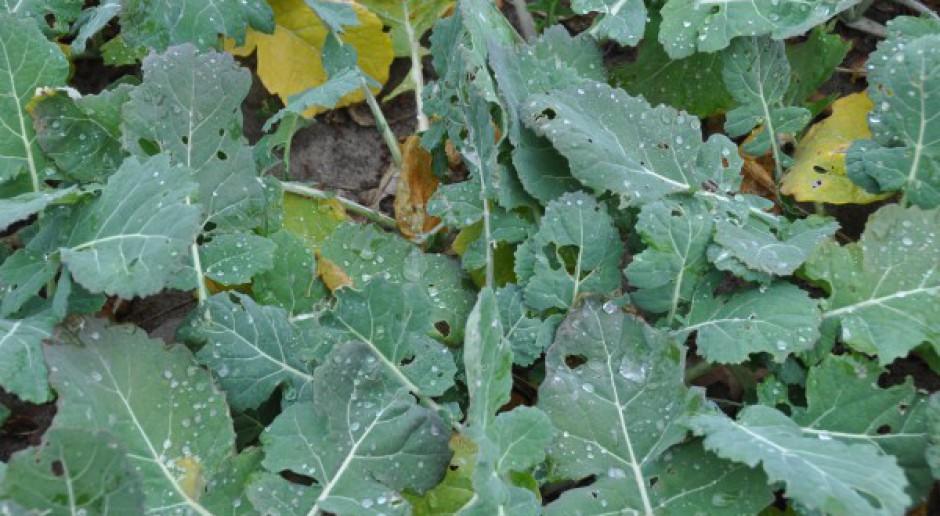 Tilmor na spóźnione zwalczanie suchej zgnilizny kapustnych