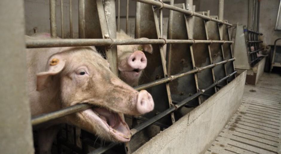 Dramat: Zjadły go własne świnie
