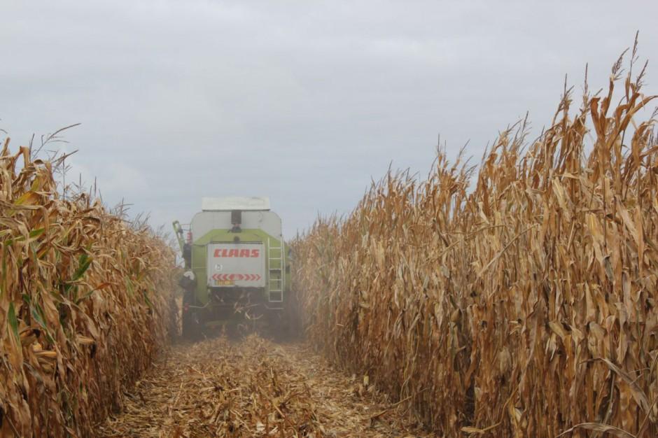 Każdego roku w Skrzelewie na polach Tadeusza Szymańczaka jest pokazowy zbiór kukurydzy i ocena plonów
