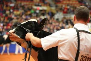 Krowa Geisha za 122 tys. dolarów