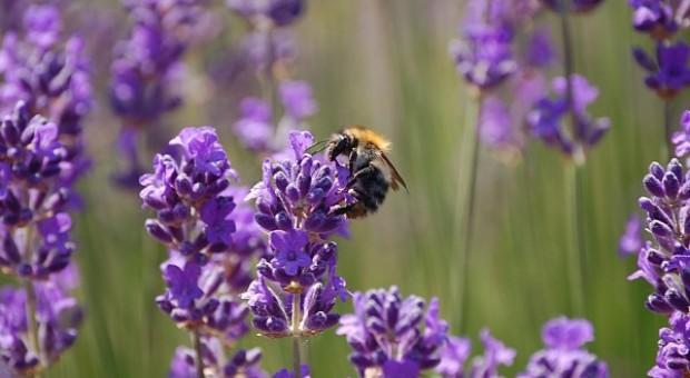 Europejski RPO sprawdził, czy KE nie zaniedbuje pszczół