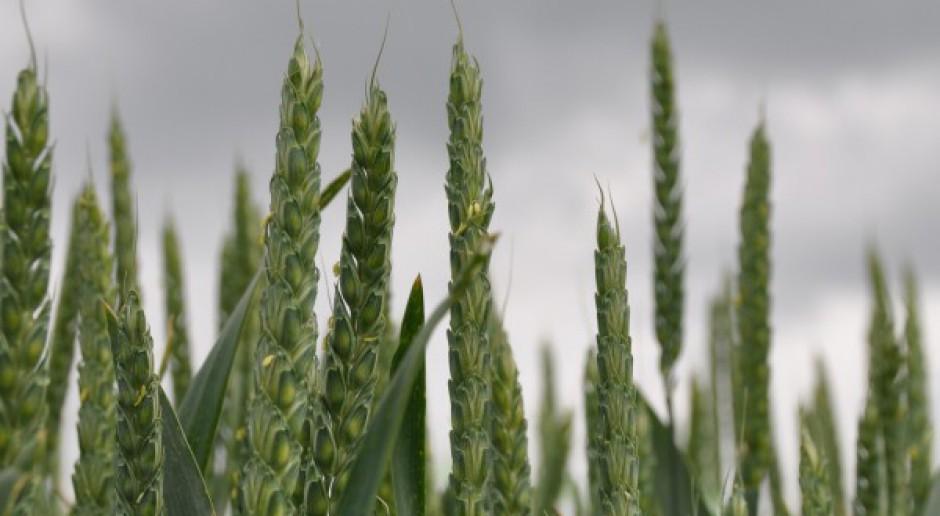 Znaczne wzrosty cen zbóż na MATIF
