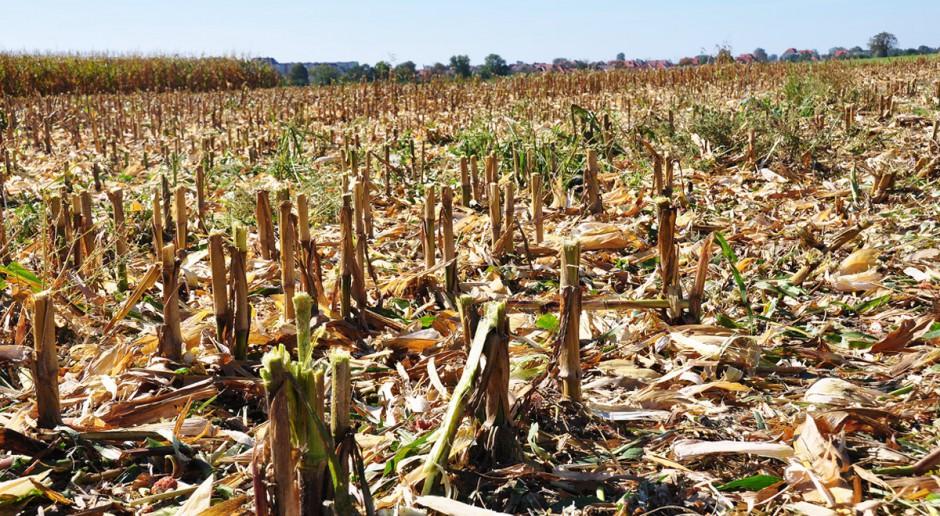 Wartość nawozowa słomy kukurydzianej