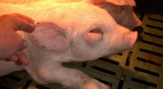 Streptococcus suis - groźny nie tylko dla świń