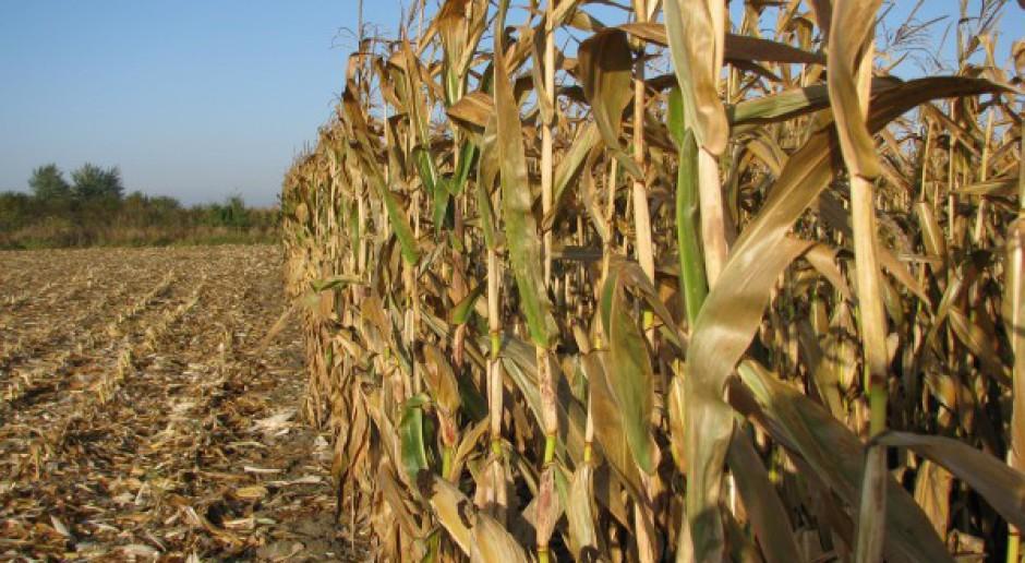 Nie opóźniaj zbioru kukurydzy