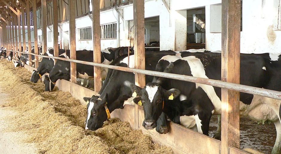 Żywienie a płodność krów