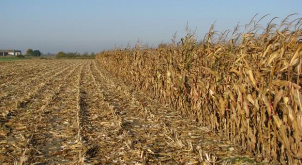 Deszcz utrudnia zbiory kukurydzy
